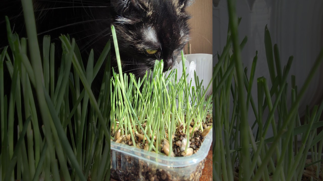 Cat eat fresh grass - YouTube