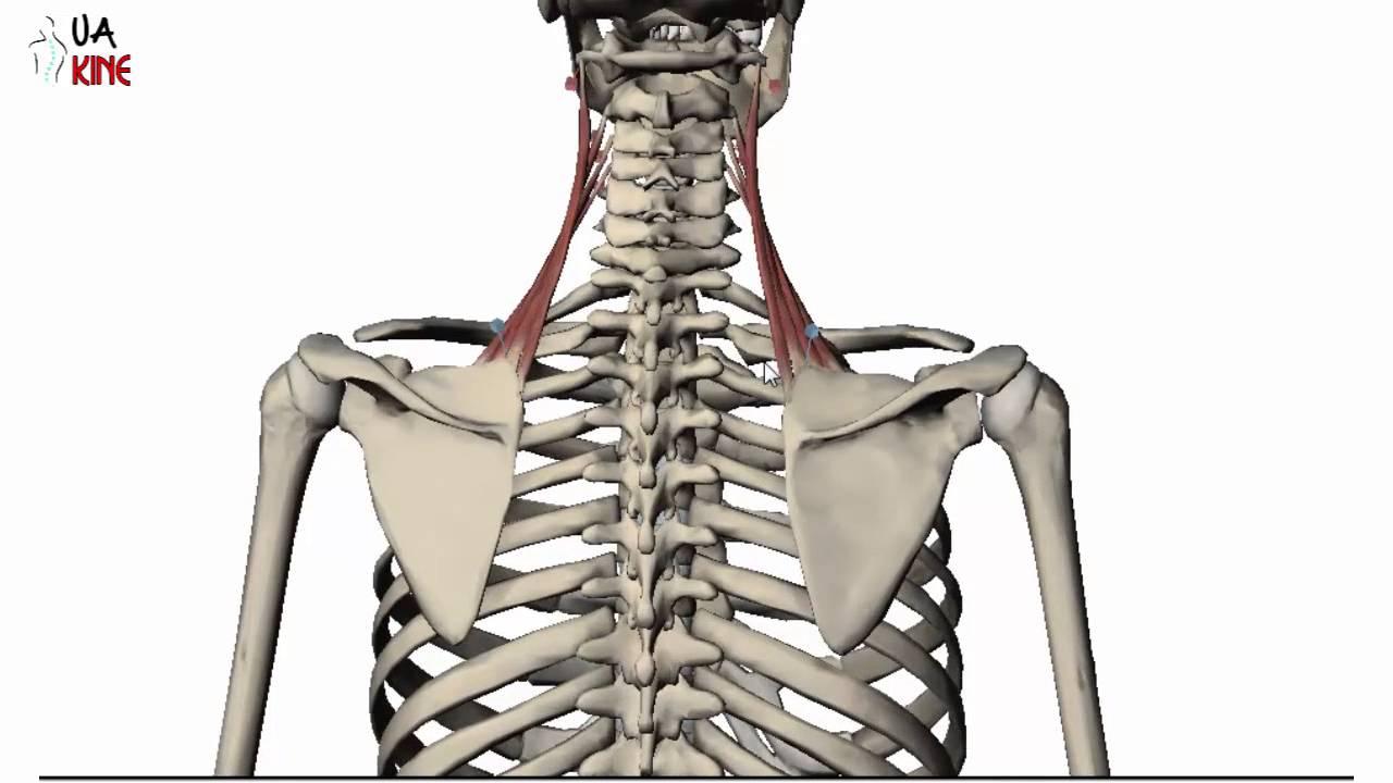 Anatomía Elevador de la Escapula (Características) - YouTube