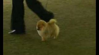 Pomeranian Show Quality - Excalibur Quest May Flower