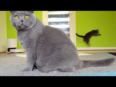 British Shorthair Cats vs Laser Pointer