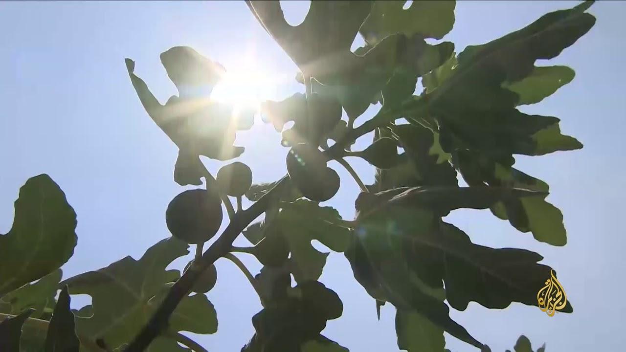 الجزيرة:هذا الصباح- أصناف غير تقليدية للزراعة بالأردن