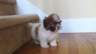 Shih Tzu Puppy's...4-sale In Marietta,georgia..website: (www.familyshihtzu.com)