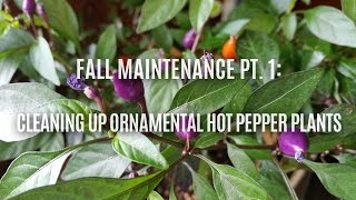 Fall Maintenance pt1: Cleaning Up Ornamental Hot Pepper Plants