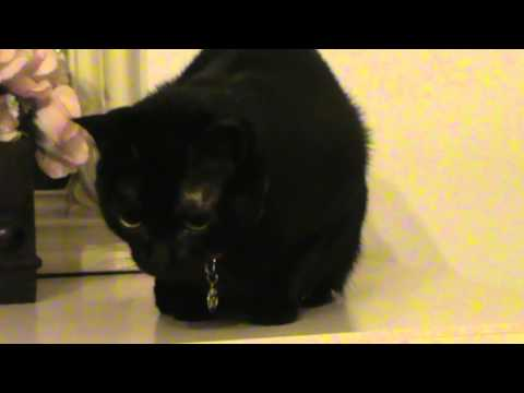 Angry black cat hissing and growling