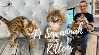 F1 Savannah Kittens For Sale in United States | Starting From $4000