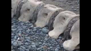 Raw footage of  whale bones( the whole big back bone) on a Beach