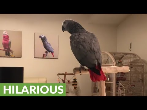 This parrot successfully asks Google Home a question and get an answer!