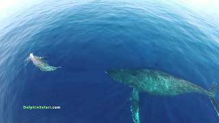 Drones Over Dolphin Stampede and Whales off Dana Point and Maui
