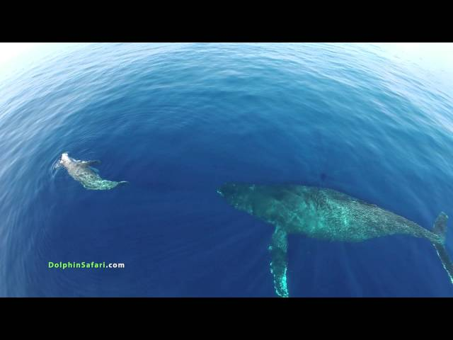 Drones Over Dolphin Stampede and Whales off Dana Point and Maui Travel Video