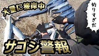 【事件発生】ゲストと行く!秋の堤防でサゴシ祭り『釣りすぎ注意』