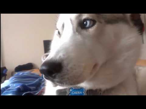 Funny Angry Husky Want Attention