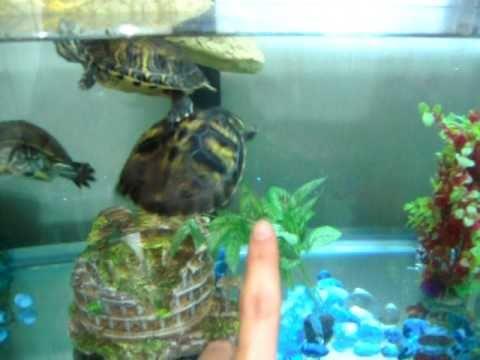 Tartarughe d 39 acqua dolce habitat acquario youtube for Depuratore acquario tartarughe