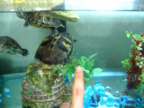 Tartarughe d 39 acqua dolce habitat acquario youtube for Acquario esterno per tartarughe