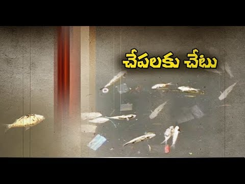 Industrial Wastes Causing | Massive Harm to Fish Reproduction | in Krishna Dist