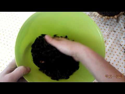 Как сушить семечки из подсолнуха