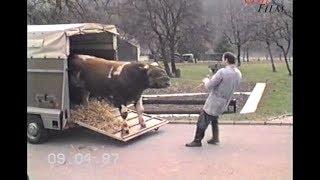 Stier, Bulle zum Wiegehäuschen 1987
