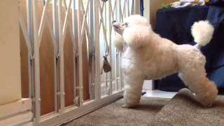 Teach your Puppy to ring bells to be let out for Toilet