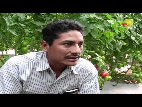 Produccion De Tomate Organico