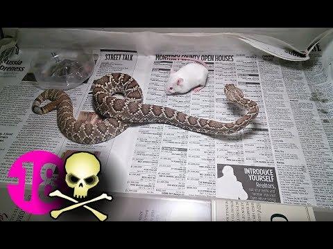 Serpent Venimeux Vs Souris Vivante