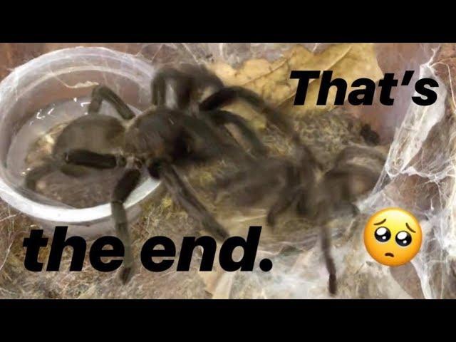 Tarantula pairing DIDN'T GO AS PLANNED ~ (Dark Earth Tiger) RIP, dude.