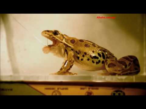 Как лягушка ловит комаров видео