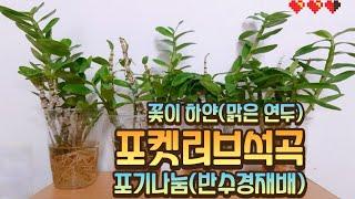 꽃이 하얀 포켓러브석곡 포기나눔(반수경재배) / Poc…