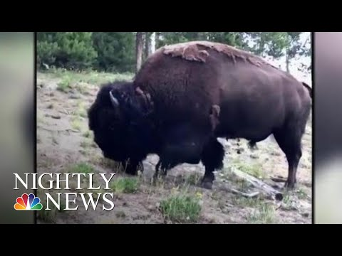 9-Year-Old Girl Thrown In The Air After Yellowstone Bison Attacks   NBC Nightly News