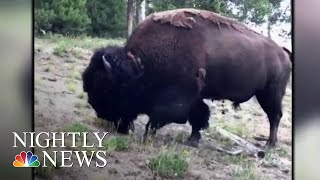 9-Year-Old Girl Thrown In The Air After Yellowstone Bison Attacks | NBC Nightly News