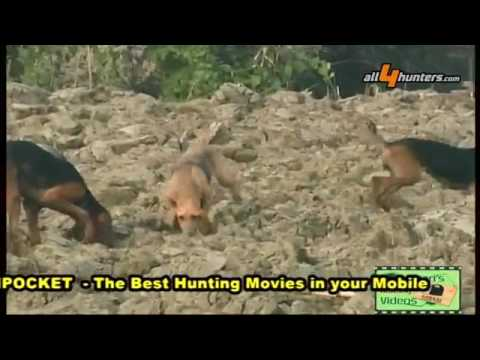 Video Hunting Hares With Bloodhounds