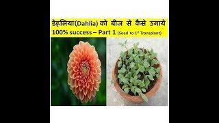 डेहलिया(Dahlia) को बीज से कैसे उगाये 100% success– Part 1 ! Grow Dahlia from seeds