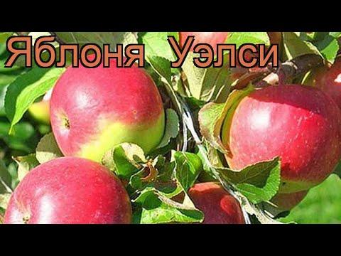 Яблоня средний Уэлси (malus wealthy) 🌿 средний яблоня Уэлси обзор: как сажать, саженцы яблони Уэлси