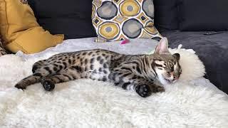 Beauty of f1 bengal cat
