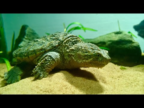 Proper Care For A Common Snapping Turtle (feat. Monster)