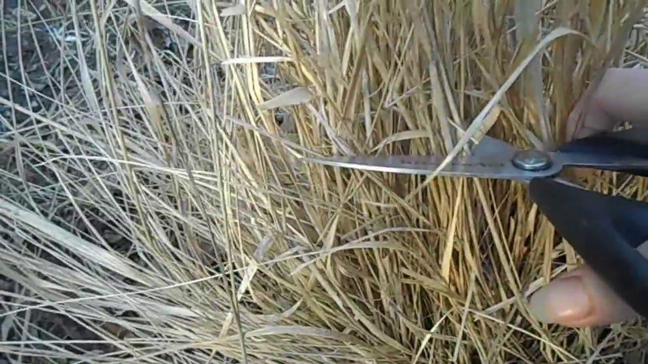 Cutting back ornamental grass youtube cutting back ornamental grass workwithnaturefo