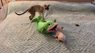 Cornish Rex Daddy playing with his baby kitten. So FUNNY! Enjoy!