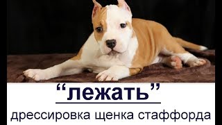 """""""Лежать! - дрессировка щенка американского стаффорда 2х месяцев."""