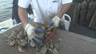 New Way to Grow Oysters