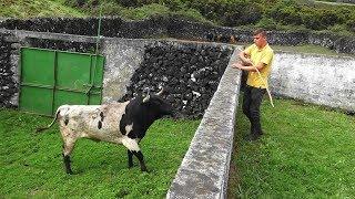 Ganadaria JG Separando Touros - Separating Bulls In JG Cattle Ranch