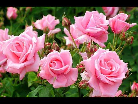 НЕЖНАЯ Песня 🎼 С Днём Рождения и много Роз.🌹 🌹 🌹