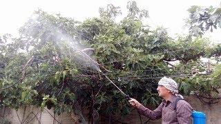 رش شجرة التين Spraying Fig Tree