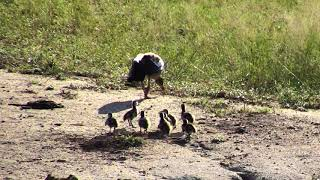 Djuma Private Game Reserve Live Stream: Egyptian Goose family with 8 Goslings