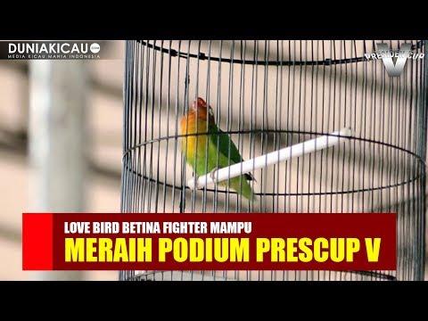PRESCUP V : INILAH!! Love Bird BETINA FIGHTER Yang Meraih Podium PRESIDEN CUP V