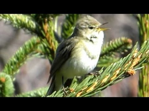 Gesang des Zilpzalp - Chiffchaff - Vogelstimmen Ruf Singvögel