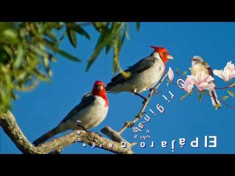 El Pájaro Cardenal🐦,  El Original Mar Azul