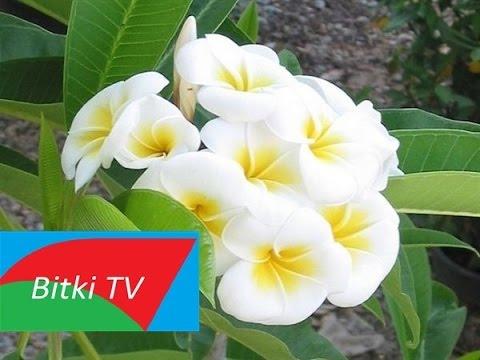 Yasemin - Yasemen - Flos Jasmini Bitkisi - Bitki TV