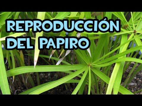Reproducci n del papiro plantas de estanque youtube - Plantas para estanques de jardin ...