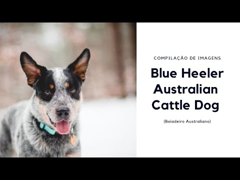 Blue Heeler - Australian Cattle Dog (Boiadeiro Australiano)