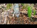 - Sistem infus pada tanaman durian