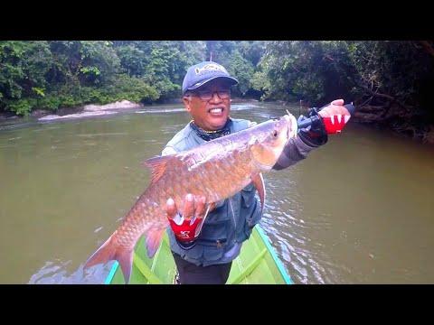 Berburu Ikan Konsumsi Termahal Air Tawar Dipedalaman Kalimantan II Golden Mahseer