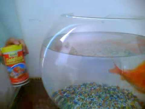 How To Take Care Of A Gold Fish Youtube